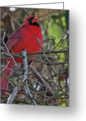 Dark Gray Blue Greeting Cards - Mister Cardinal Greeting Card by DigiArt Diaries by Vicky Browning
