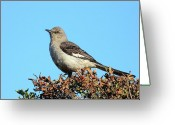 Mocking Greeting Cards - Mockingbird . 7682 Greeting Card by Wingsdomain Art and Photography