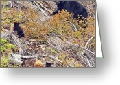 Black Bear Cubs Greeting Cards - Mom and Cubs Greeting Card by Claude Dalley