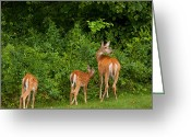 White Tailed Deer Greeting Cards - Mom and Two Greeting Card by Karol  Livote