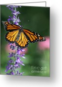 Gossamer Greeting Cards - Monarch Beauty Greeting Card by Sabrina L Ryan