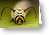 Head Of State Greeting Cards - Monarch Butterfly Caterpillar I Greeting Card by Clarence Holmes