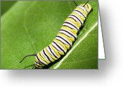 Caterpillar Greeting Cards - Monarch Butterfly Caterpillar Greeting Card by Paul Omernik