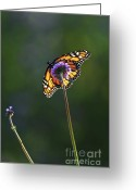 Backlit Greeting Cards - Monarch butterfly Greeting Card by Elena Elisseeva
