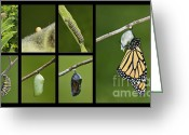 Warn Greeting Cards - Monarch Butterfly Life Cycle - D003995 Greeting Card by Daniel Dempster
