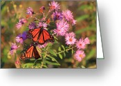 Aster  Greeting Cards - Monarch Butterfly Pair on Asters Greeting Card by John Burk