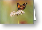 Wildflower Photography Greeting Cards - Monarch Butterfly Perched On Wildflower Greeting Card by Susan Gary