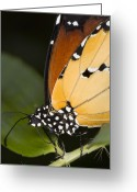 Mediterranean Butterfly Greeting Cards - Monarch Butterfly Greeting Card by Power And Syred
