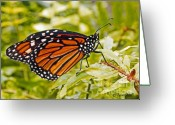 Plants Pyrography Greeting Cards - Monarch Butterfly Greeting Card by Terri Mills