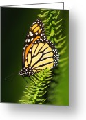 Grass Greeting Cards - Monarch Butterfly Greeting Card by The Photography Factory