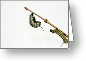 Caterpillar Greeting Cards - Monarch Caterpillar Greeting Card by Jim McKinley