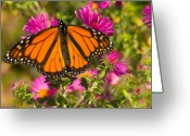 Resting Greeting Cards - Monarch Feeding Greeting Card by Chris Lord
