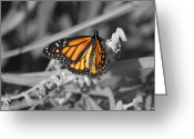 Susan Stevens Crosby Greeting Cards - Monarch on Black and White Greeting Card by Susan Stevens Crosby