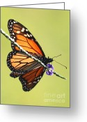 Monarchs Greeting Cards - Monarch on Porterweed Greeting Card by Carol Groenen