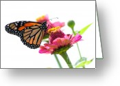 Cone Flower Greeting Cards - Monarch on White Greeting Card by Edward Sobuta