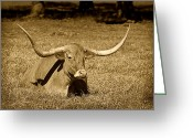 Cows Framed Prints Greeting Cards - Monochrome Longhorn Cow Rsting in Grass Greeting Card by M K  Miller