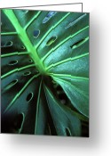 Greens Framed Prints Greeting Cards - Monstera Greeting Card by Kathy Yates