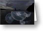 Villagers Greeting Cards - Moon Jellyfish Rise At Nightfall Greeting Card by David Doubilet
