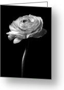 Fineart Canvas          Greeting Cards - Moonlight Serenade - Closeup Black And White Rose Flower Photograph Greeting Card by Artecco Fine Art Photography - Photograph by Nadja Drieling