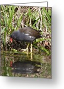English Countryside Print Greeting Cards - Moorhen Looking at its Reflection Greeting Card by Lynne Dymond
