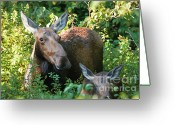 Woodlands Greeting Cards - Moose - White Mountains New Hampshire  Greeting Card by Erin Paul Donovan