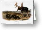 Lithograph Greeting Cards - Moose Deer (cervus Alces) Greeting Card by Granger