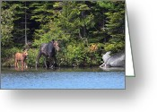 Baxter Park Greeting Cards - Moose Mother and Calf Greeting Card by Bruce J Robinson