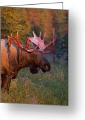 Moose Bull Greeting Cards - Moose Shedding Velvet Greeting Card by Tim Grams