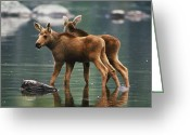 Baxter Park Greeting Cards - Moose Twins Alces Alces Americana Greeting Card by Phil Schermeister