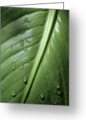 Canna Greeting Cards - Morning Dew Greeting Card by Jeannie Burleson
