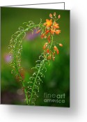 Orange And Green Greeting Cards - Morning Dew on Orange Flowers Greeting Card by Carol Groenen