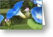 Value Greeting Cards - Morning Glories Greeting Card by Geralyn Palmer