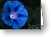 Morning Glory Greeting Cards - Morning Glory 6 Greeting Card by Marjorie Imbeau