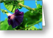 Morning Glory Greeting Cards - Morning Glory 7 Greeting Card by Marjorie Imbeau
