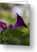 Michael Friedman Greeting Cards - Morning Glory Greeting Card by Michael Friedman