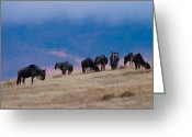 Kenya Greeting Cards - Morning in Ngorongoro Crater Greeting Card by Adam Romanowicz