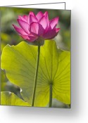 Lotus Leaves Greeting Cards - Morning Light Greeting Card by Elvira Butler