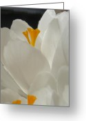 Yellow Crocus Greeting Cards - Morning Light Greeting Card by Kristine Nora