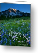 Aster  Photo Greeting Cards - Morning Majesty Greeting Card by Mike  Dawson