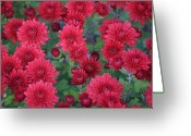Cultivars Greeting Cards - Morning Melody  Greeting Card by Debra  Miller