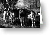 Cows Framed Prints Greeting Cards - Morning Sun Cascading Intricate Shadows Greeting Card by Danielle Summa