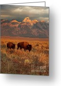 Bison Greeting Cards - Morning Travels in Grand Teton Greeting Card by Sandra Bronstein