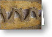 Dinosaur Greeting Cards - Mosasauras Teeth Greeting Card by Garry Gay