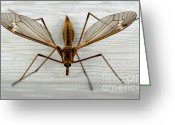 Dandelion Pyrography Greeting Cards - Mosquito Hawk Greeting Card by The Kepharts