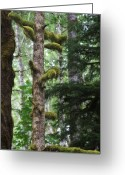 Lichen Greeting Cards - Moss-draped trees on Tiger Mountain WT USA Greeting Card by Christine Till