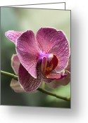 Moth Orchids Greeting Cards - Moth Orchid Curvation Greeting Card by Bill Tiepelman