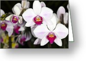 Moth Orchids Greeting Cards - Moth Orchids Greeting Card by Dr Keith Wheeler