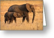 Maasai Mara Greeting Cards - Mother and Baby Greeting Card by Adam Romanowicz