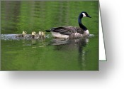 Canada Goose Greeting Cards - Mother and Brood  - 0992c1730b Greeting Card by Paul Lyndon Phillips