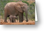 South Africa Greeting Cards - Mother and Calf Greeting Card by Bruce J Robinson